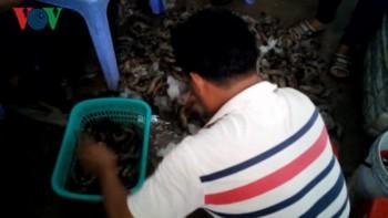 Bắt quả tang hàng chục công nhân bơm chích tạp chất vào tôm